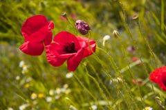 сад цветка предпосылки большой декоративный изолировал белизну мака Стоковые Изображения RF