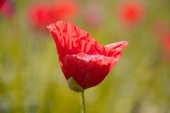 сад цветка предпосылки большой декоративный изолировал белизну мака Стоковая Фотография