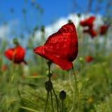 сад цветка предпосылки большой декоративный изолировал белизну мака Стоковое Изображение RF