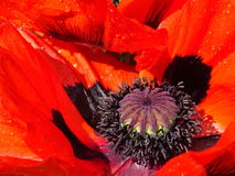 сад цветка предпосылки большой декоративный изолировал белизну мака Стоковое Фото