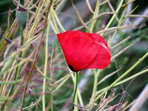 сад цветка предпосылки большой декоративный изолировал белизну мака Стоковые Фотографии RF