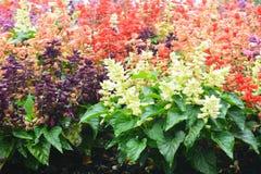 Сад цветка Salvia Стоковое фото RF