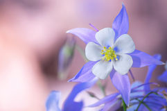 Сад цветков голубого Columbine стоковое фото