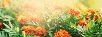 Сад цветков ноготков знамени лета красивый Стоковые Фото