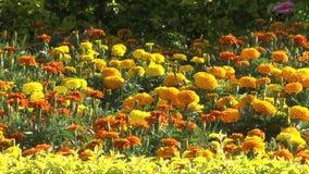 Сад цветков французского ноготк patula видеоматериал