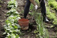 Сад человека работая с сапкой Стоковая Фотография RF