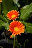 Сады Дорсет Великобритания Abbottbury тропические Стоковые Изображения