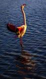 Салют крыла фламинго на заходе солнца Стоковое фото RF