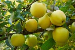 Сад яблока осени Стоковые Фото