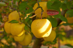 Сад яблока осени Стоковые Изображения