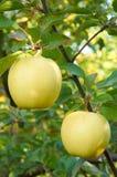 Сад яблока осени Стоковые Изображения RF