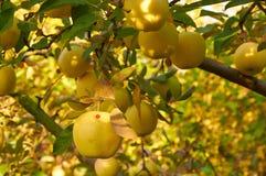 Сад яблока осени Стоковая Фотография RF