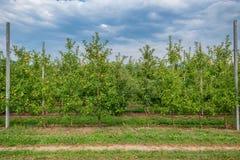 Сад Яблока с зрелым плодоовощ Стоковая Фотография RF
