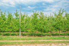 Сад Яблока с зрелым плодоовощ Стоковые Изображения RF