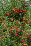 Сад Яблока Стоковые Фотографии RF