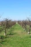 Сад яблони в весеннем времени Линии яблонь с бутонами весны Стоковое фото RF