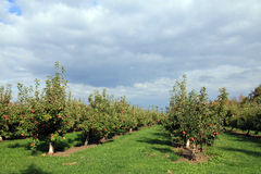 Сад яблони Стоковые Фото
