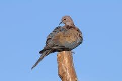 Садясь на насест смеясь над голубь в Sharm El-Sheikh стоковые фотографии rf