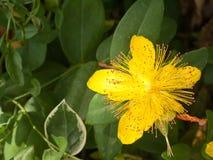 Сад calycinum зверобоя красивый желтый стоковые фотографии rf