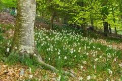 Сад daffodils в лесе. Montseny Стоковое Изображение