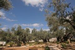 Сад Gethsemane, Иерусалима стоковая фотография rf