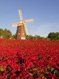 Сад Poinsettia Стоковые Фотографии RF