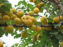 Сбор абрикоса в Zdolbuniv Стоковое Изображение
