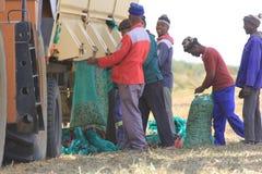 Сбор арахиса в Южной Африке стоковые фото