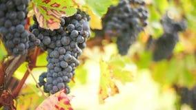 Сбор вина сток-видео