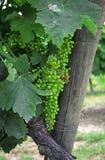 сбор винограда виноградины Стоковая Фотография RF
