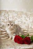 сбор винограда красивейшего кресла кота сидя Стоковая Фотография RF