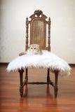 сбор винограда красивейшего стула кота сидя Стоковая Фотография RF
