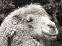 сбор винограда съемки sepia портрета верблюда Стоковая Фотография