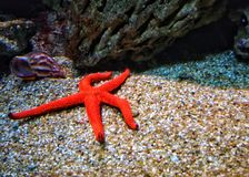 сбор винограда типа звезды моря вычерченной иллюстрации руки первоначально стоковые фотографии rf