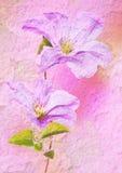 сбор винограда типа цветка clematis Стоковое Изображение RF