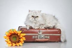 сбор винограда чемодана кота перский Стоковое Фото
