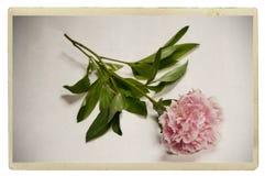 сбор винограда peony розовый Стоковые Фотографии RF