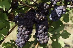 Сбор виноградины вина в долине Wilamette Стоковое Изображение RF