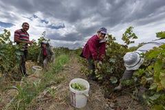 Сбор виноградины в Армении стоковые фото