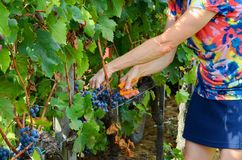 Сбор виноградины в винограднике, Тоскана, Италия Стоковые Изображения