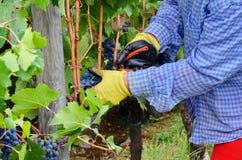 Сбор виноградины в винограднике, Тоскана, Италия Стоковое фото RF