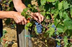 Сбор виноградины в винограднике, Тоскана, Италия Стоковые Фотографии RF