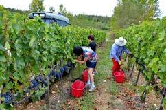 Сбор виноградины в винограднике, Тоскана, Италия Стоковое Фото