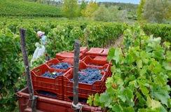 Сбор виноградины в винограднике, Тоскана, Италия Стоковое Изображение RF