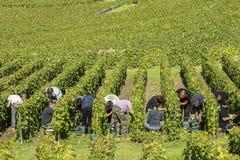 Сбор виноградин в Cramant Франции Стоковые Изображения RF