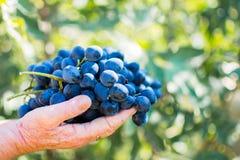 Сбор виноградин 13 Стоковые Изображения RF