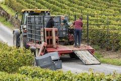 Сбор виноградин Cramant Франции Шампани Стоковое Фото