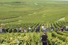Сбор виноградников в Cramant Франции Стоковые Фото