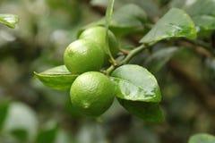 сбор винограда вала воспроизводства лимона книги ботанический Стоковые Фото