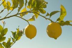 сбор винограда вала воспроизводства лимона книги ботанический Стоковая Фотография